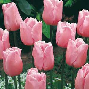 Tulip Bulbs Triumph Pink 25 Per Pack