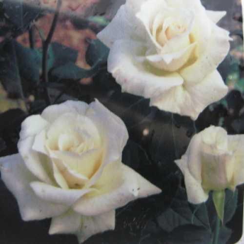 Pascali (Lenip) Hybrid Tea Rose
