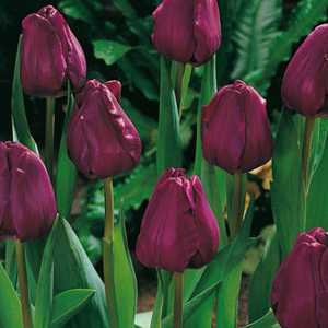 Tulip Bulbs Triumph Purple 25 Per Pack