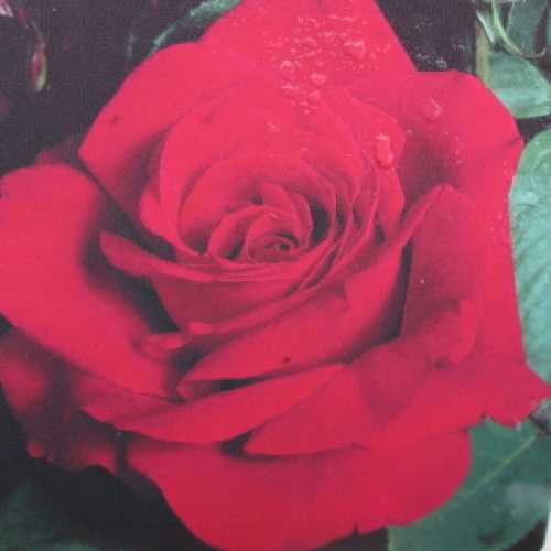 Ruby Wedding Hybrid Tea Rose
