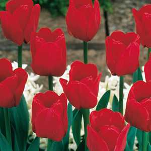 Buy triumph tulips online cheap red tulip bulbs for sale spring tulip bulbs triumph red 25 per pack mightylinksfo