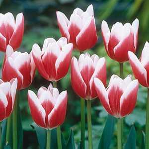 Tulip Bulbs Triumph Red & White 25 Per Pack