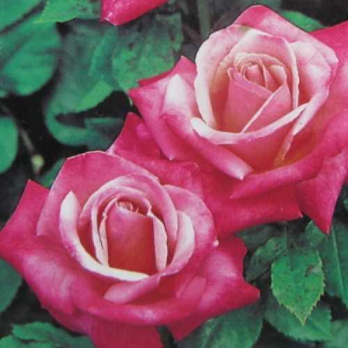 Silver Jubilee Hybrid Tea Rose