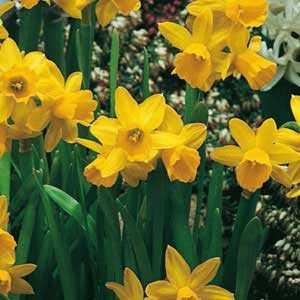 Narcissus Cyclamineus Bulbs Tete A Tete (Daffodil) 100 Per Pack