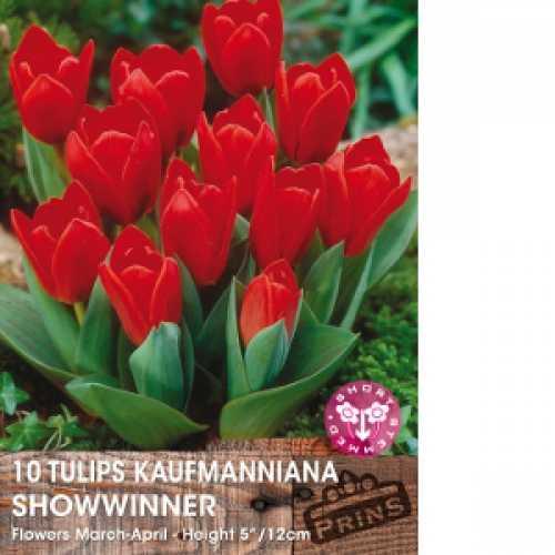 Tulip Bulbs Kaufmanniana Showwinner 10 Per Pack