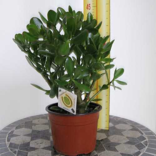 Cheap Money Plant Cheap Crassula Ovata