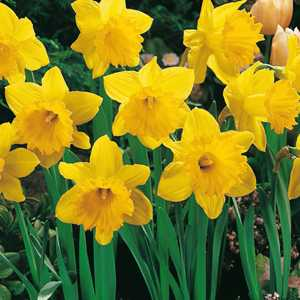 Daffodil Bulbs Trumpet Dutch Master 3Kg Bag