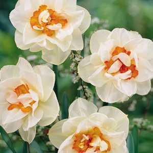 Daffodil Double Bulbs 'Flower Drift' 3Kg Bag