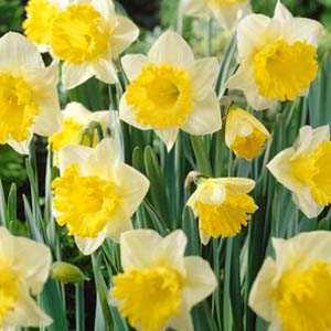 Daffodil Bulbs Trumpet Las Vegas 3Kg Bag