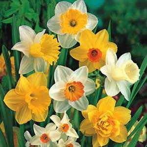 Daffodil Bulbs 'Mixed' 3Kg Bag