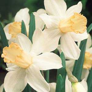 Daffodil Bulbs Mrs R O Backhouse 25Kg Sack