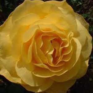 Rose Floribunda Rose Blonde Bombshell 3Ltr