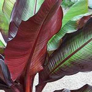 Musa Tandra 'Red Banana Plant' 2Ltr