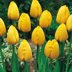 Tulip Bulbs Darwin Hybrid Golden Apeldoorn 10 Per Pack