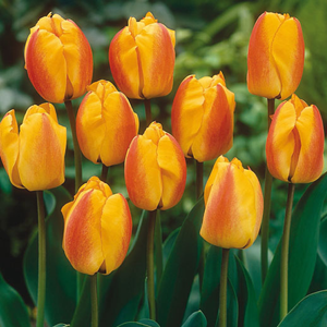 Tulip Bulbs Darwin Hybrid Oxford Elite 10 Per Pack