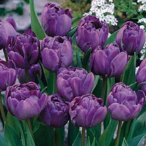 Tulip Bulbs Double Late Blue Spectacle 10 Per Pack