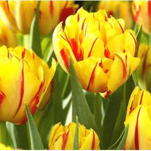 Tulip Bulbs Double Early Monsella 10 Per Pack