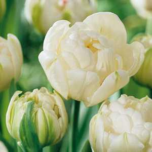 Tulip Bulbs Double Late Mount Tacoma 10 Per Pack
