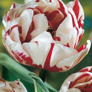 Tulip Bulbs Double Late Carnaval de Nice 10 Per Pack