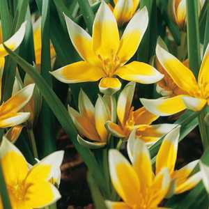 Tulip Bulbs Species Tarda 10 Per Pack