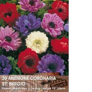 Anemone Bulbs Coronaria St Brigid 15 Per Pack