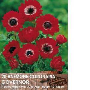 Anemone Bulbs Coronaria Governor 15 Per Pack