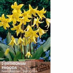 Erythronium Pagoda (Dog's Tooth Lily) Bulbs Yellow Flower 2 Per Pack