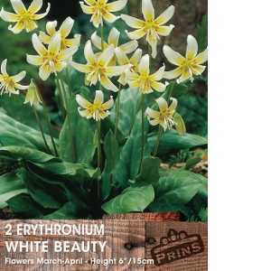 Erythronium White Beauty (Trout Lily) Bulbs Pale Yellow Flower 2 Per Pack