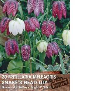 Fritillaria Meleagris Bulbs (Snakes Head Lily) 20 Per Pack