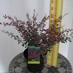 Berberis thunbergii Rose Glow Barberry Hedging 3.5 Ltr
