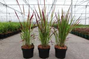 Imperata Cylindra Red Baron Blady Cogon Grass