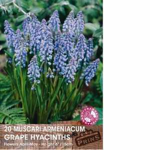 Muscari Armeniacum (Grape Hyacinth) Bulbs 20 Per Pack