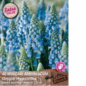 Muscari Armeniacum (Grape Hyacinth)Bulbs 40 Per Pack