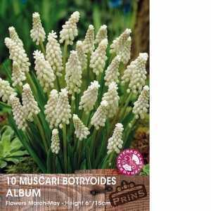 Muscari Botryoides Album (Grape Hyacinth) Bulbs 10 Per Pack