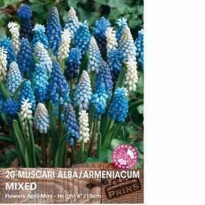 Muscari (Grape Hyacinth) Bulbs Mixed 20 Per Pack