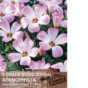 Oxalis Adenophylla Wood Sorral Bulbs 5 Per Pack