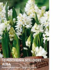 Puschkinia Scilloides Alba Bulbs 10 Per Pack