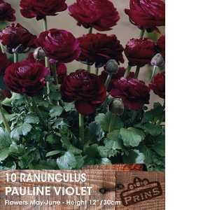Ranunculus Pauline Violet Bulbs 10 Per Pack