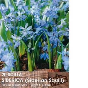 Scilla Siberica (Siberian Squill) Bulbs 20 Per Pack
