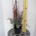 Berberis Rosy Rocket (Rose Raket) Barberry (Hedging)