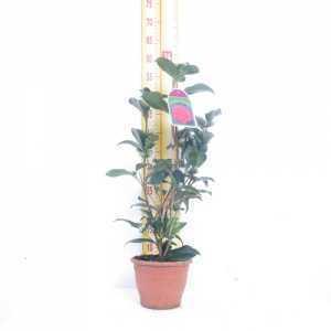 Camellia Japonica Williamsi 14cm Pot