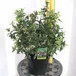 Diervilla Sessilifolia Cool Splash (Bush Honeysuckle)