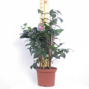 Camellia Rosa Baroveira Nella (Deep Pink) 3Ltr