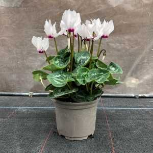 Cyclamen Mini Winter Potted (White)