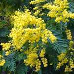 Acacia Dealbata (Mimosa)