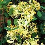 Lonicera Periclymenum Honeysuckle Scentsation