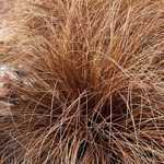 Carex Buchananii Leatherleaf Sedge 3ltr