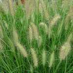 Pennisetum Alopecuroides Hameln Chinese Fountain Grass