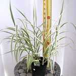 Arundo Donax Versicolor Bog Garden Giant Reed