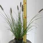 Pennisetum Viridescens  Black Flowered Fountain Grass